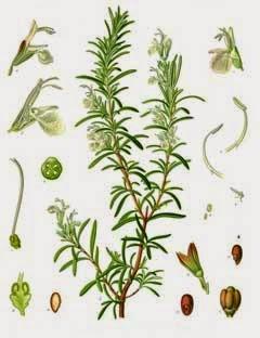 RosmarinusOfficinalis